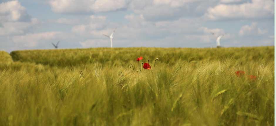 Bild von einem Kornfeld bei Brodowin